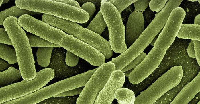 大肠杆菌或称为疫苗载体