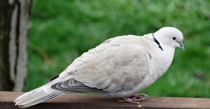被驯养的生物:信鸽