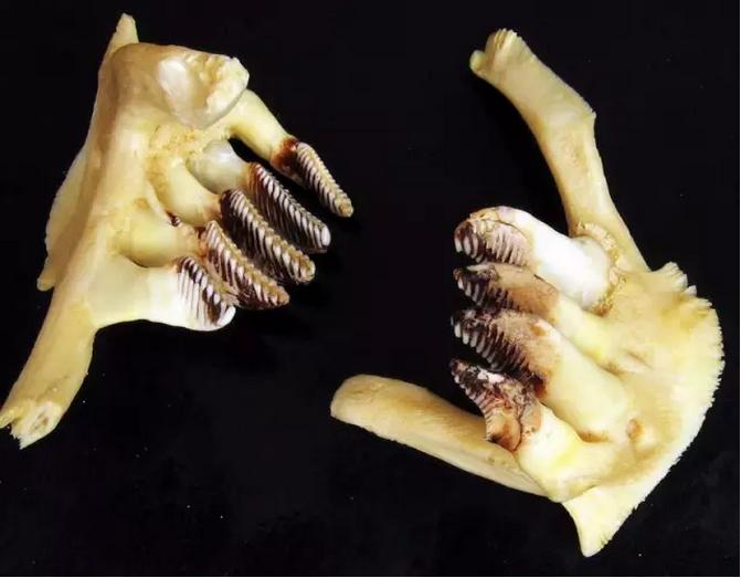 草鱼的咽喉齿