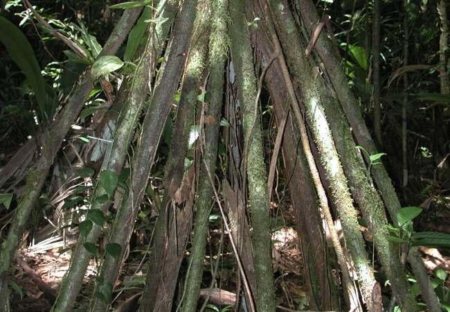 Socratea Exorrhiza