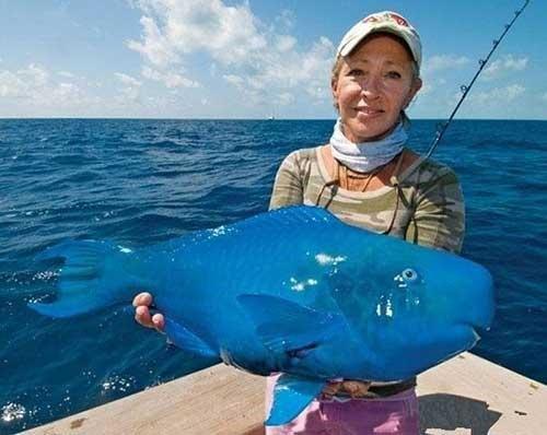 蓝色鹦鹉鱼