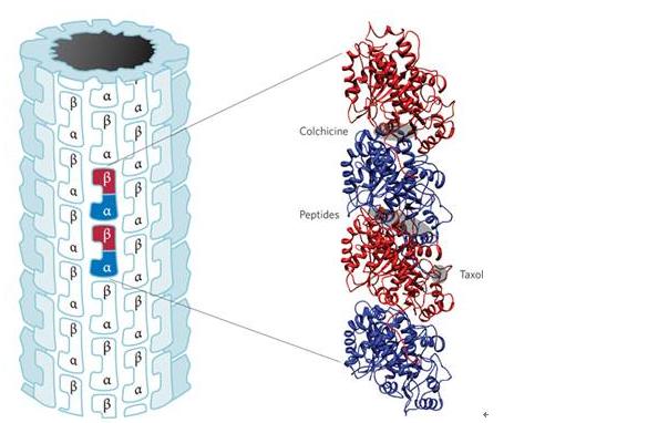 微管抑制剂的结合位点