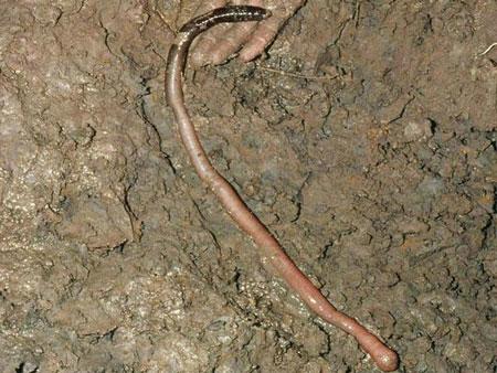 巨型基普斯兰蚯蚓