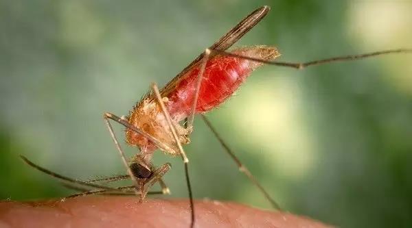 冈比亚按蚊