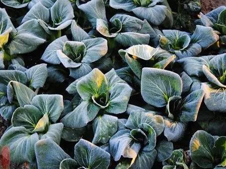 生物植物抗冻剂
