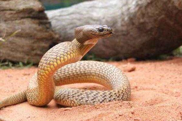 陆地上最毒的蛇 - 内陆太攀蛇
