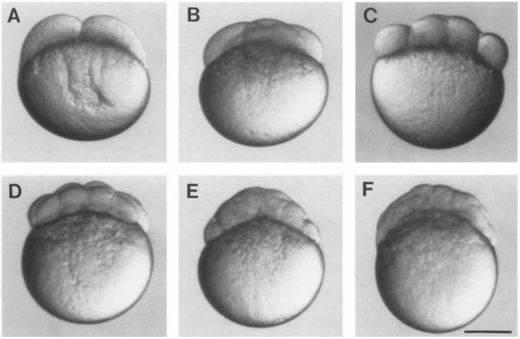卵裂期(cleavage)