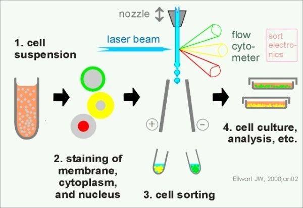 图1 流式细胞仪原理图(图片来自于网络)