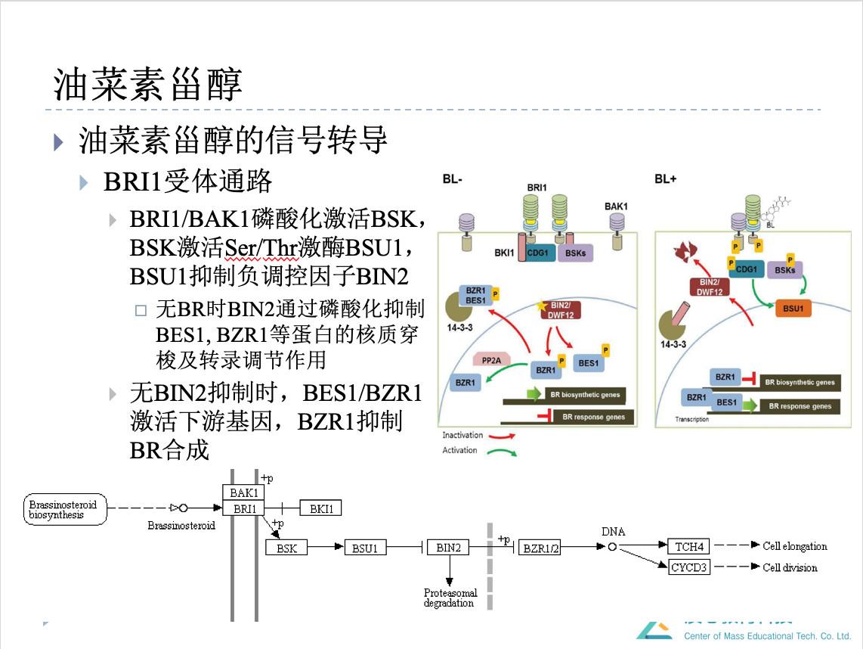 图2油菜素甾醇的信号转导过程 (来自于质心一轮课植物生理课件)